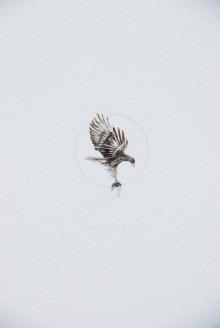 Aguila marina1